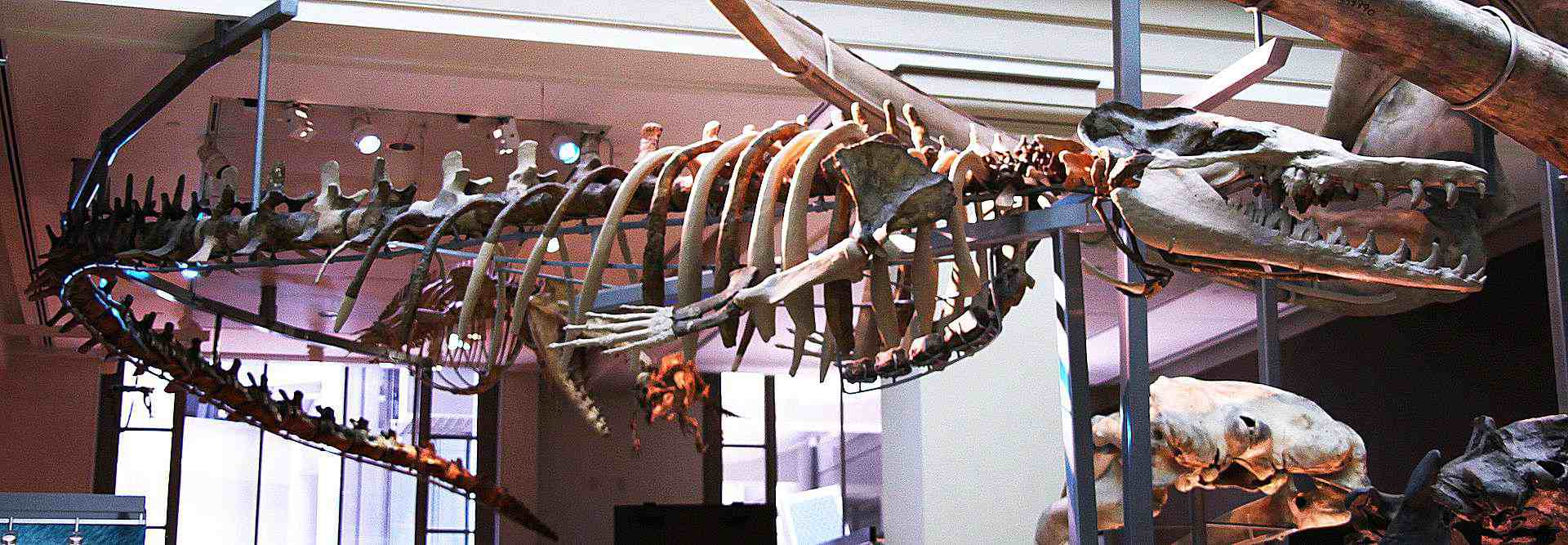 A museum display of a <i>Basilosaurus</i> skeleton. It's attached to the ceiling to give it the impression of swimming
