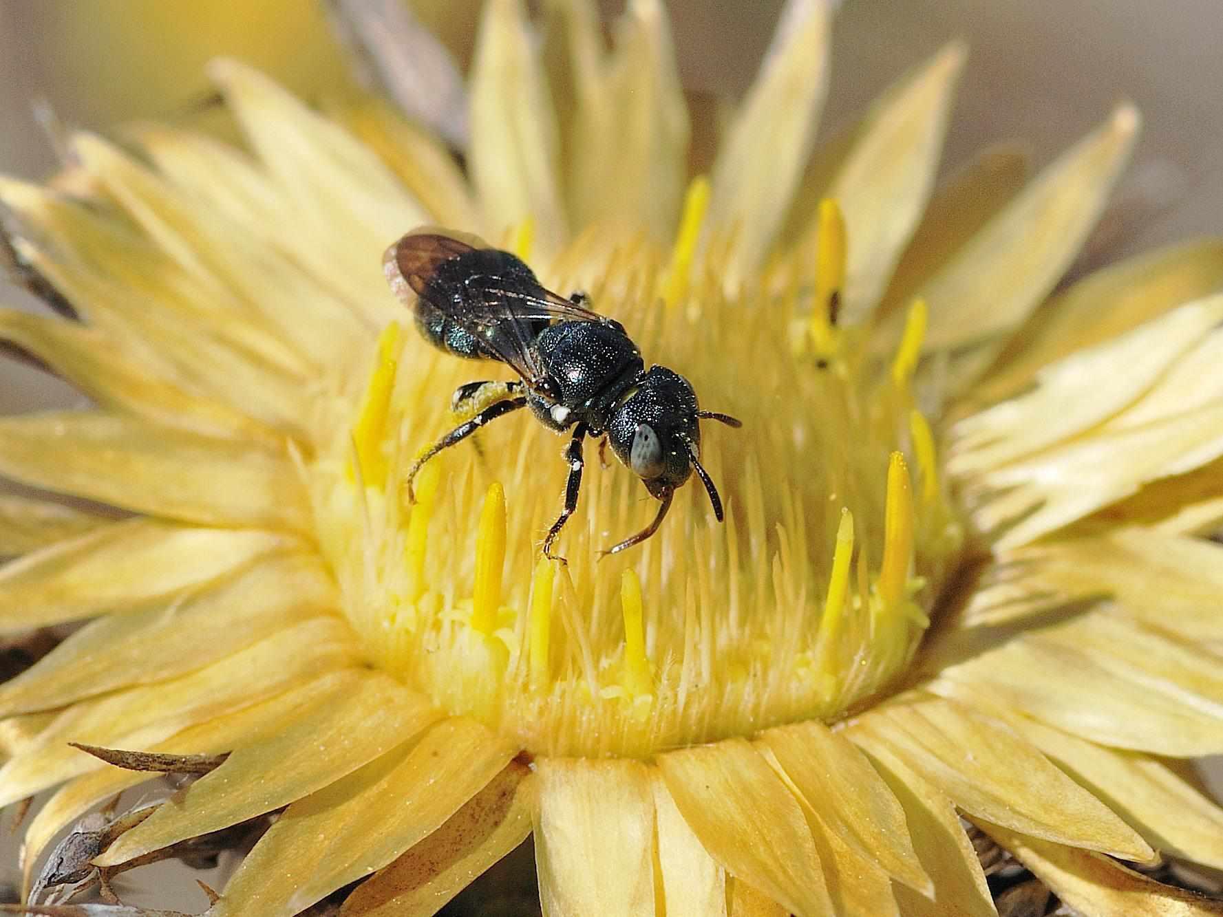 Dwarf carpenter bee.