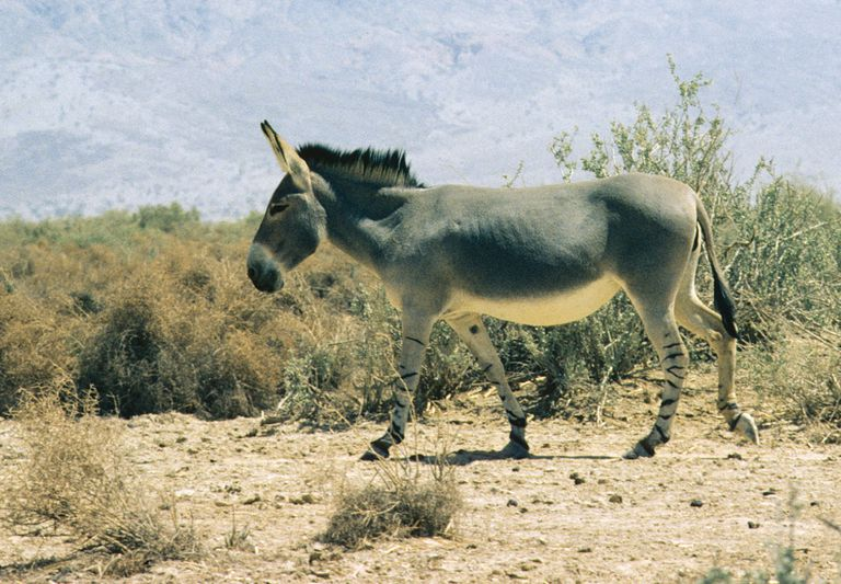 History of the Domestication of Donkeys