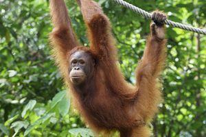 An orangutan hangs onto a rope at the Semenggoh Wildlife Rehabilitation Center in Kuching, Borneo