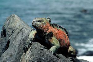 Marine iguana on Santa Cruz Island in the Galapagos