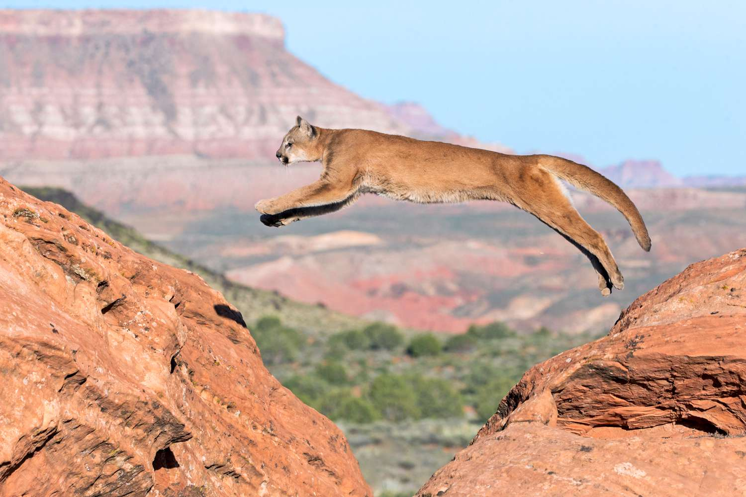 A mountain lion jumping