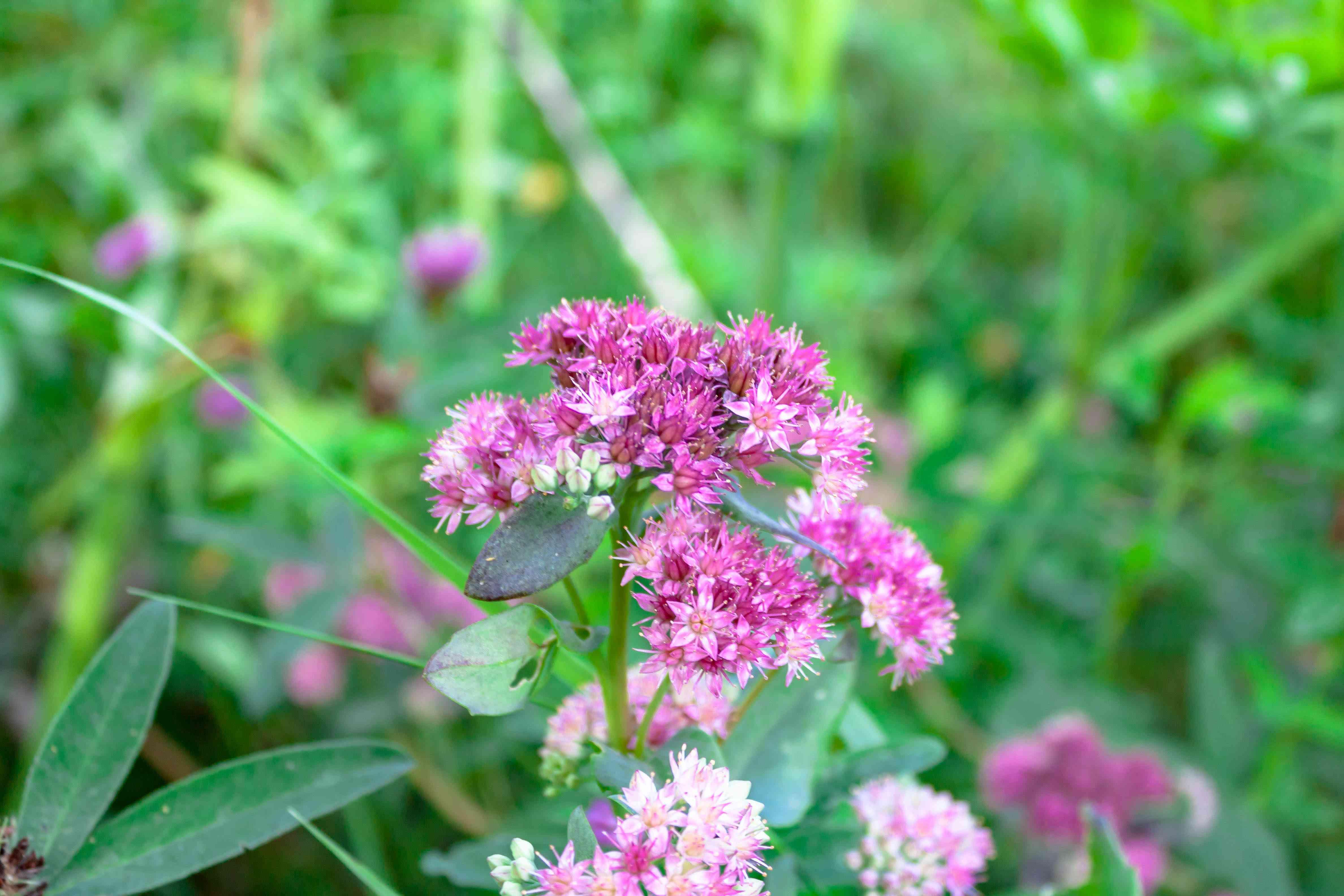 Purple alpine garden plant Hylotelephium triphyllum Sedum Stonecrop close up macro nature background