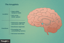 Amygdala is located deep within temporal lobes. It is part of the limbic system. Functions include autonomic responses associated with fear, emotional responses, processing and consolidating memory, and hormonal secretions