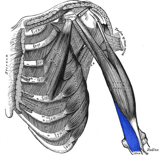 The brachialis muscle