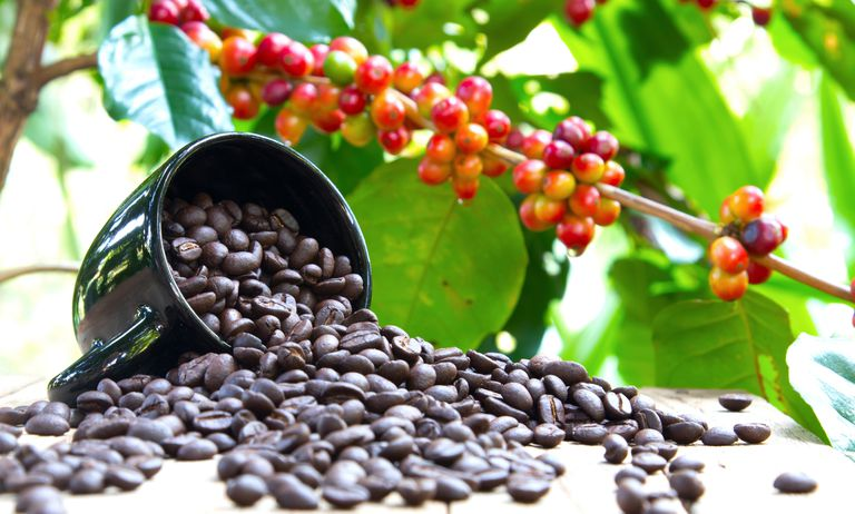 group coffee berries on coffee tree branch and cup of black coffee beans