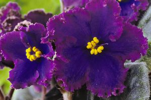 African Violet (Saintpaulia 'Midnight Flame'), Close up of blue flowers with curley edges