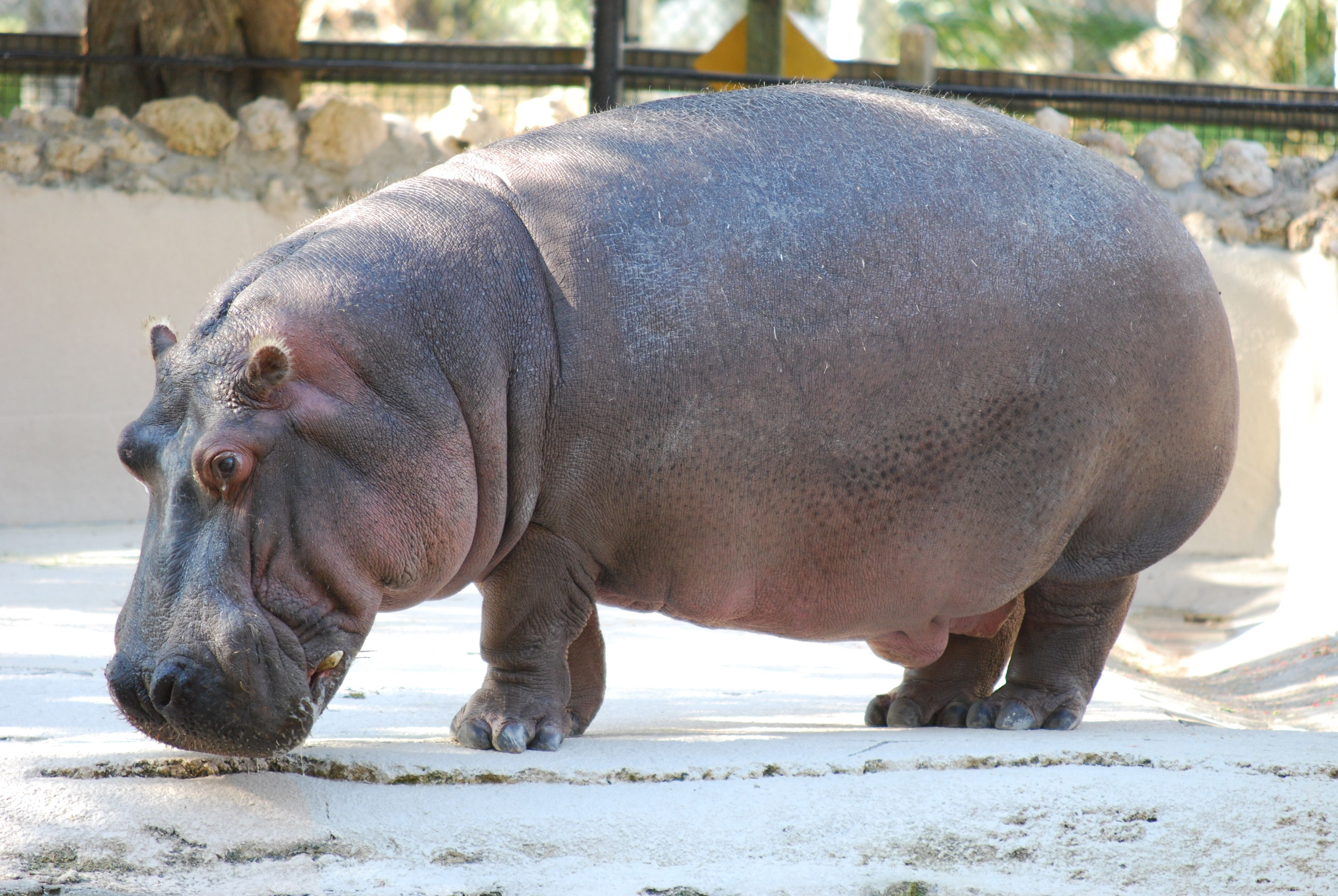 Hippo in a zoo