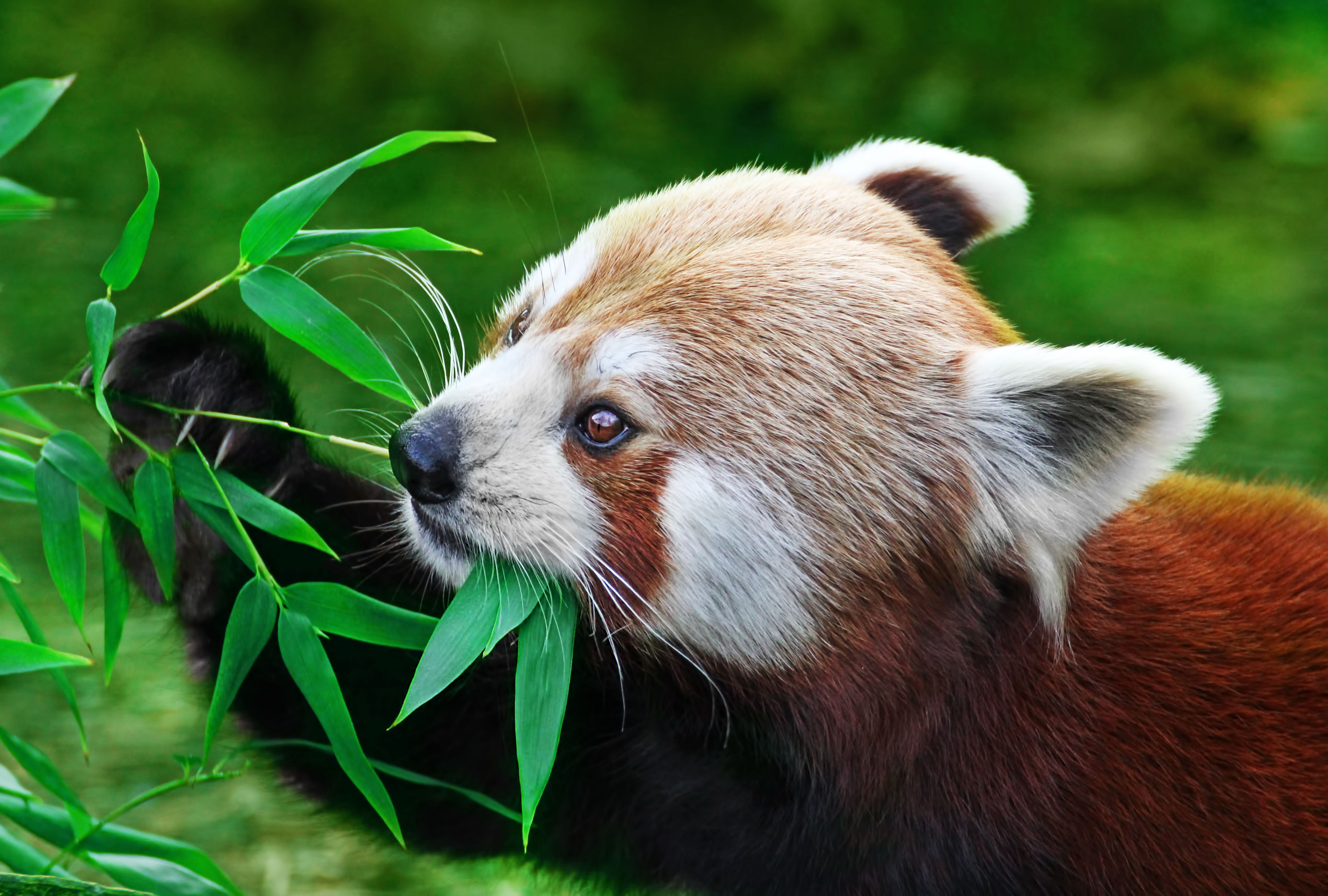 The red panda is adapted to spend its waking hours eating bamboo.