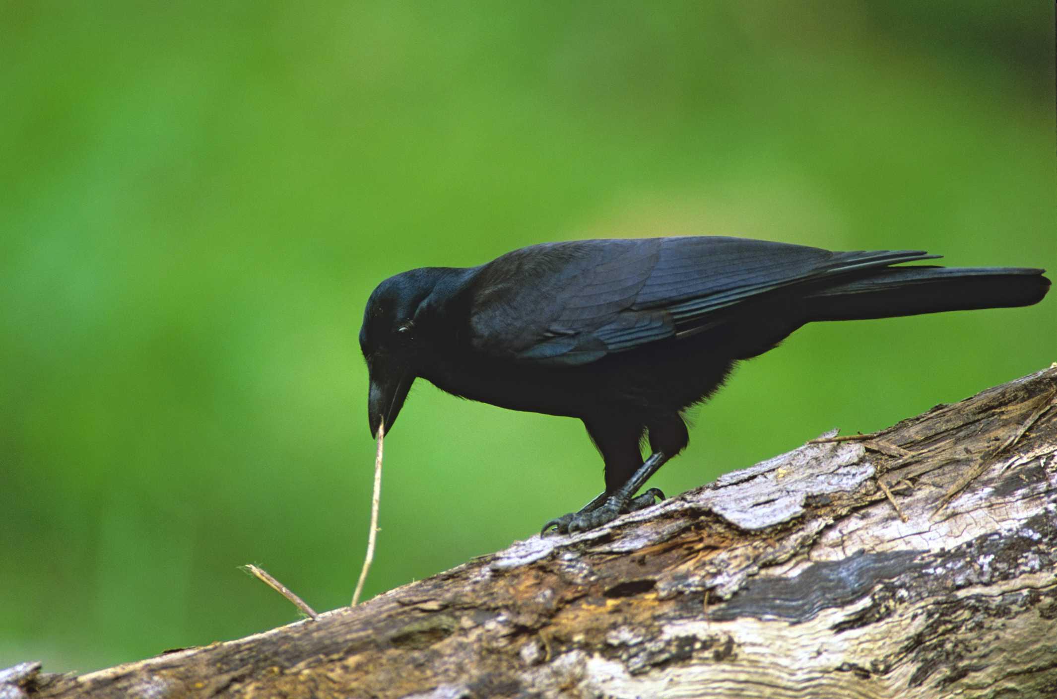crow using tool to dislodge a worm.