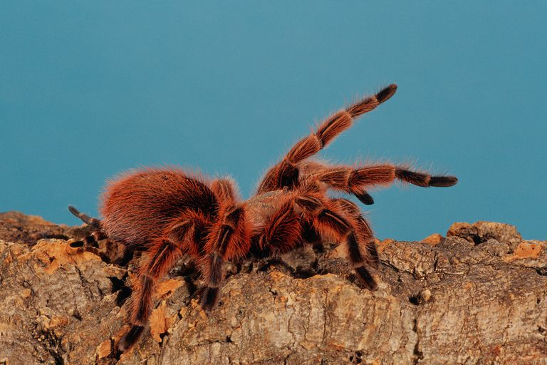 Learn About the Tarantulas Family Theraphosidae