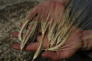 Barley landraces in southeast Turkey
