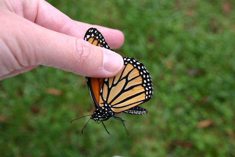 The proper way to hold a butterfly.