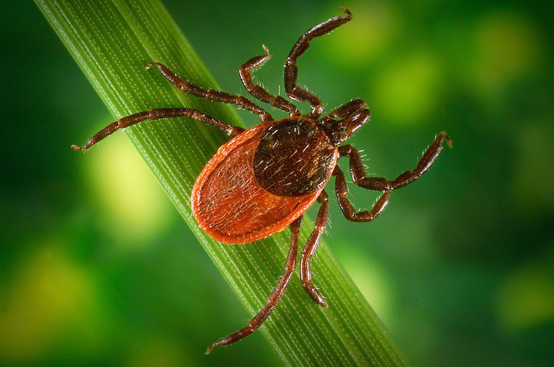 How Do Ticks Sense and Locate Their Hosts?