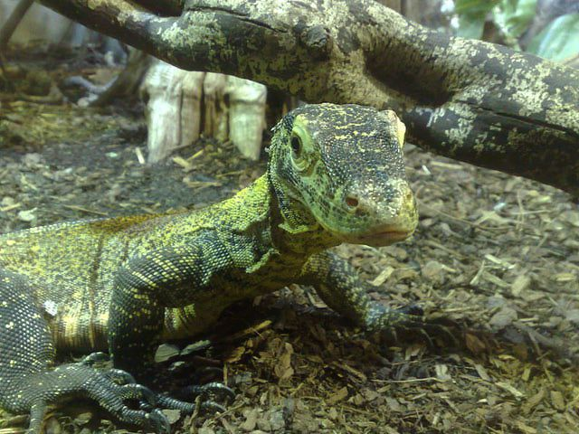 baby komodo dragon born via parthenogenesis