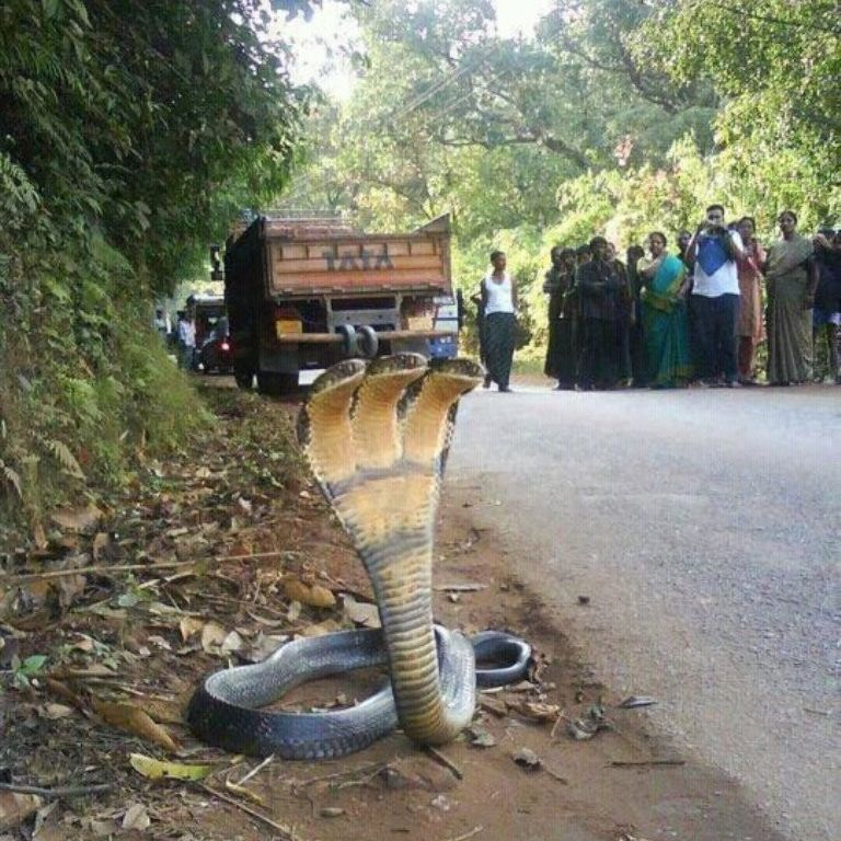 The Photo Of A 7 Headed Snake Urban Legend Or Truth