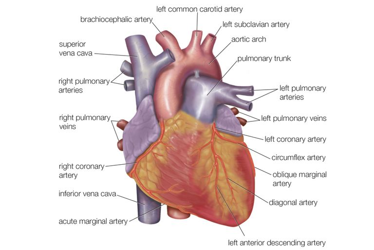 Anatomy of the heart diagram view for Exterior of heart diagram