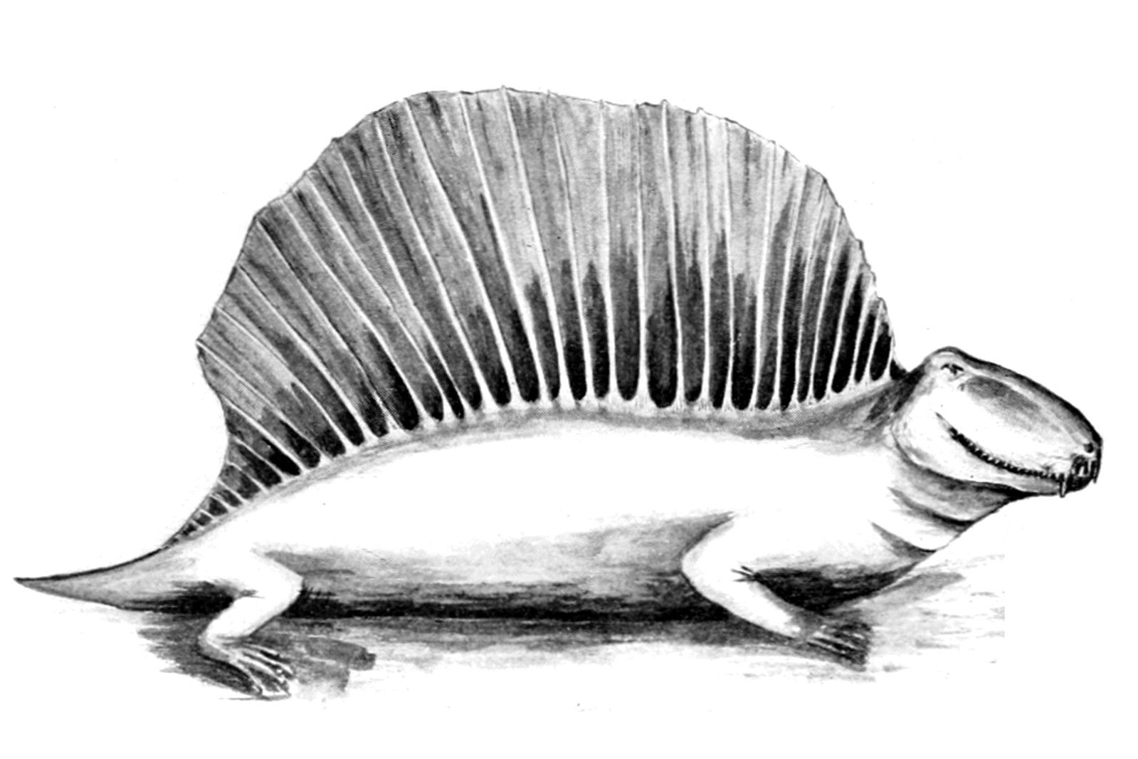 Reconstruction of Dimetrodon from