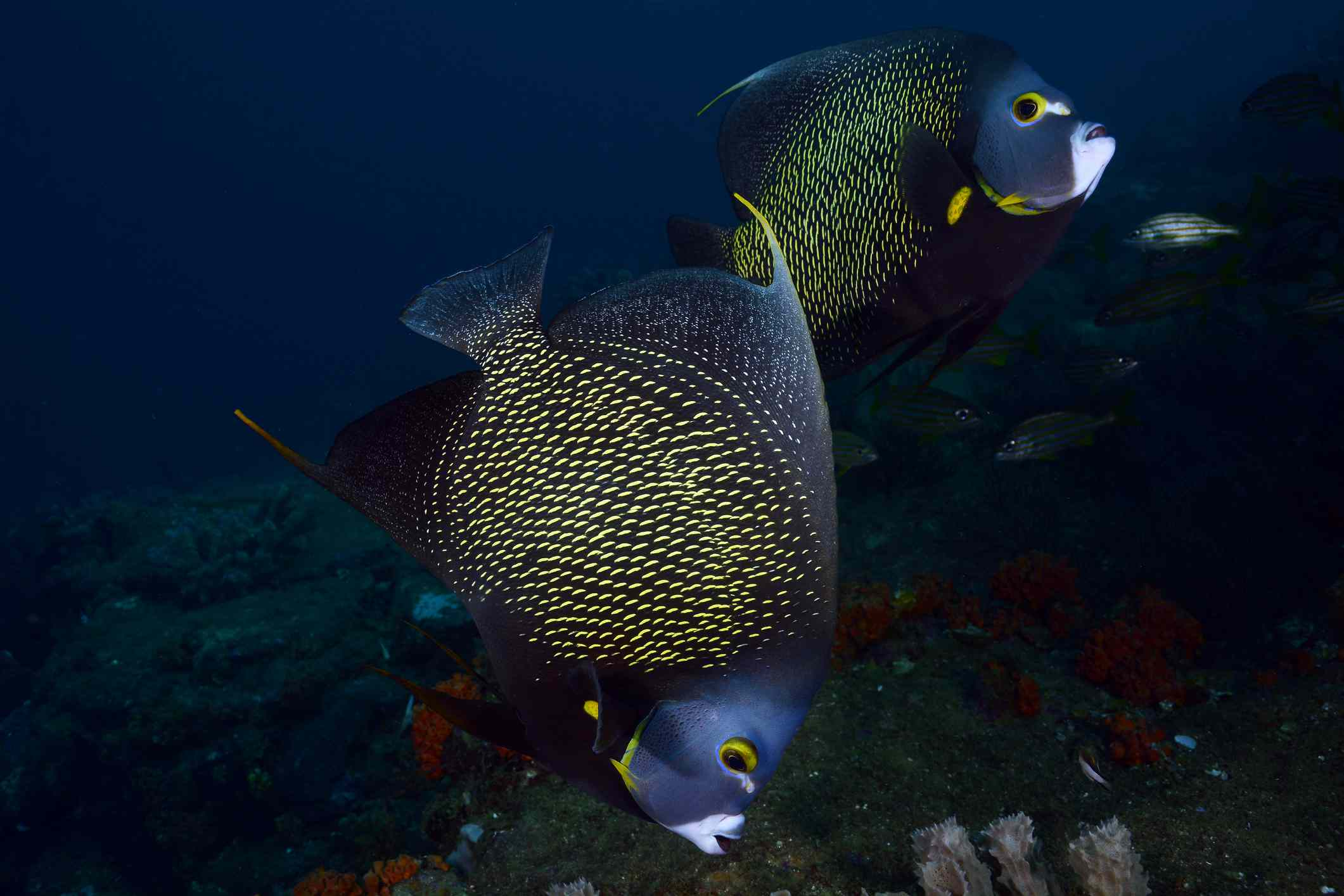 French Angelfish Facts