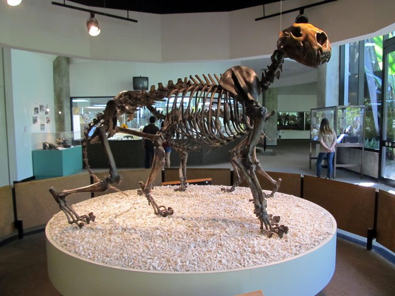 Skeleton of American lion (Panthera leo atrox) in museum
