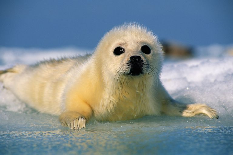 Harp seal pup - Pagophilus groenlandicus