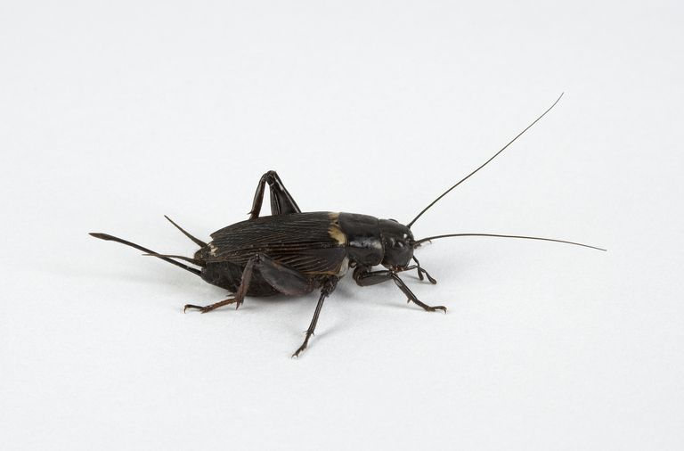 Why Do Crickets Stop Chirping When Approached?