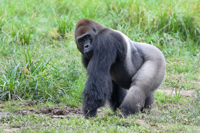 Western lowland gorilla (Gorilla gorilla gorilla), Bayanga, Central African Republic