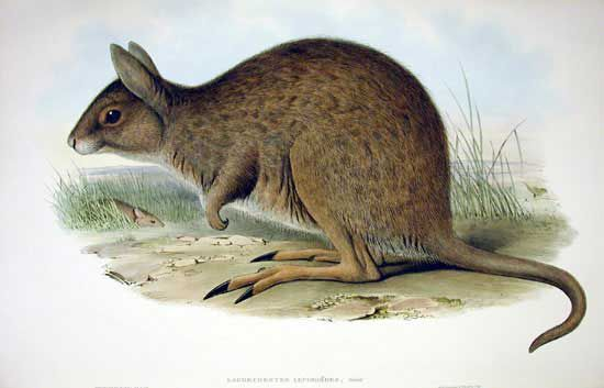 eastern hare wallaby