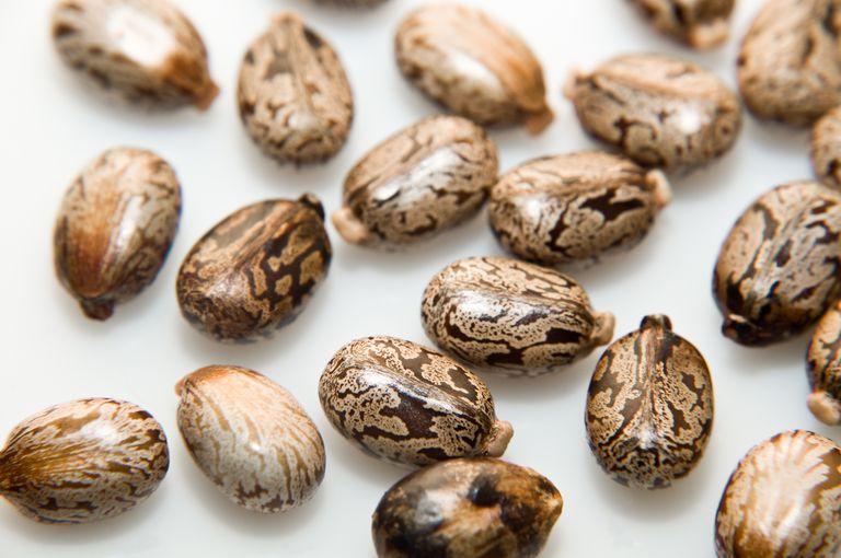 Castor beans