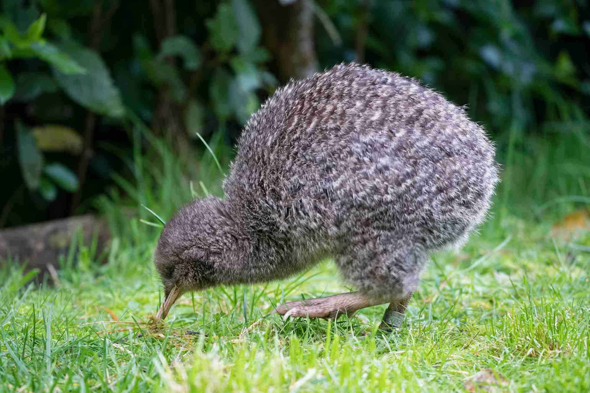 Little spotted kiwi standing in grass