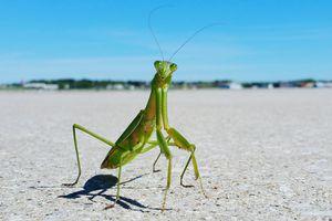 A praying mantis