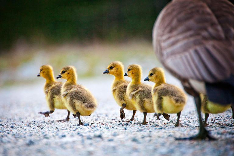 A group of Canadian goose chicks with yellow down