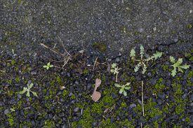 Moss colonizing asphalt