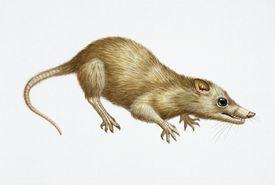 Illustration of Megazostrodon