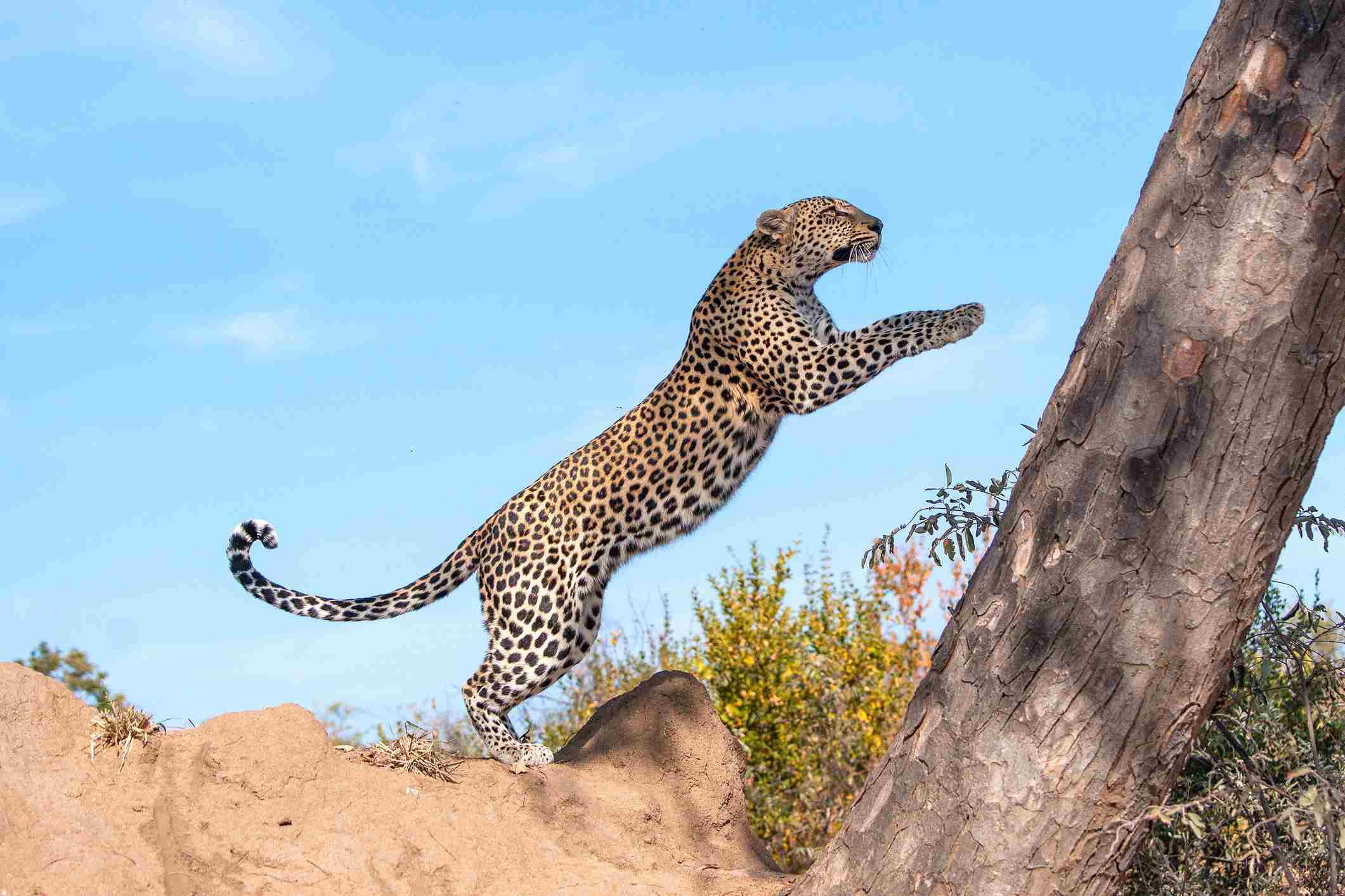 Flying Leopard