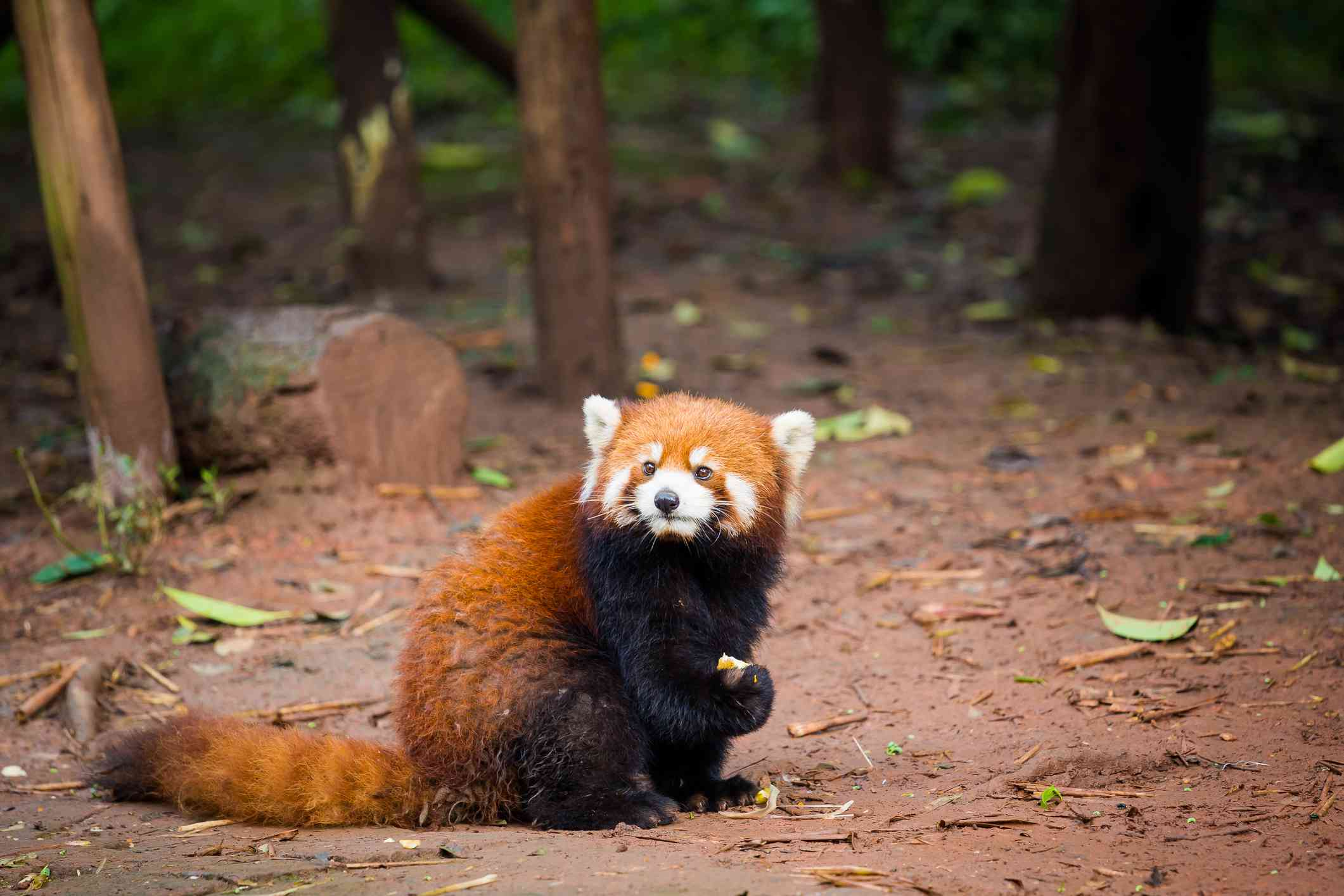 Red panda on the ground