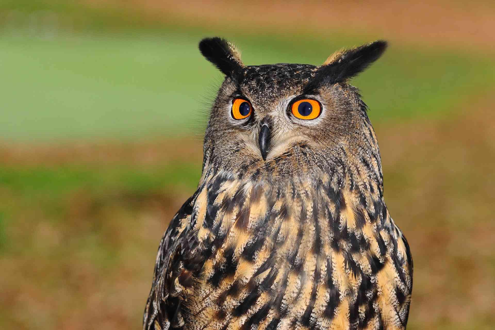 Owl staring at camera
