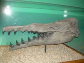 The skull of a <i>Basilosaurus</i> on display