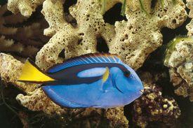 Regal tang in an aquarium