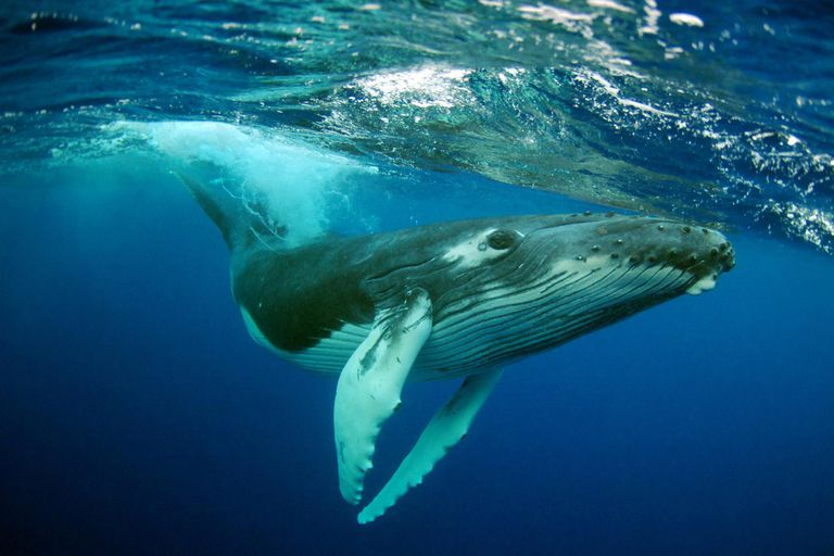 Are whales fish or mammals humpback whale underwater portrait thecheapjerseys Choice Image