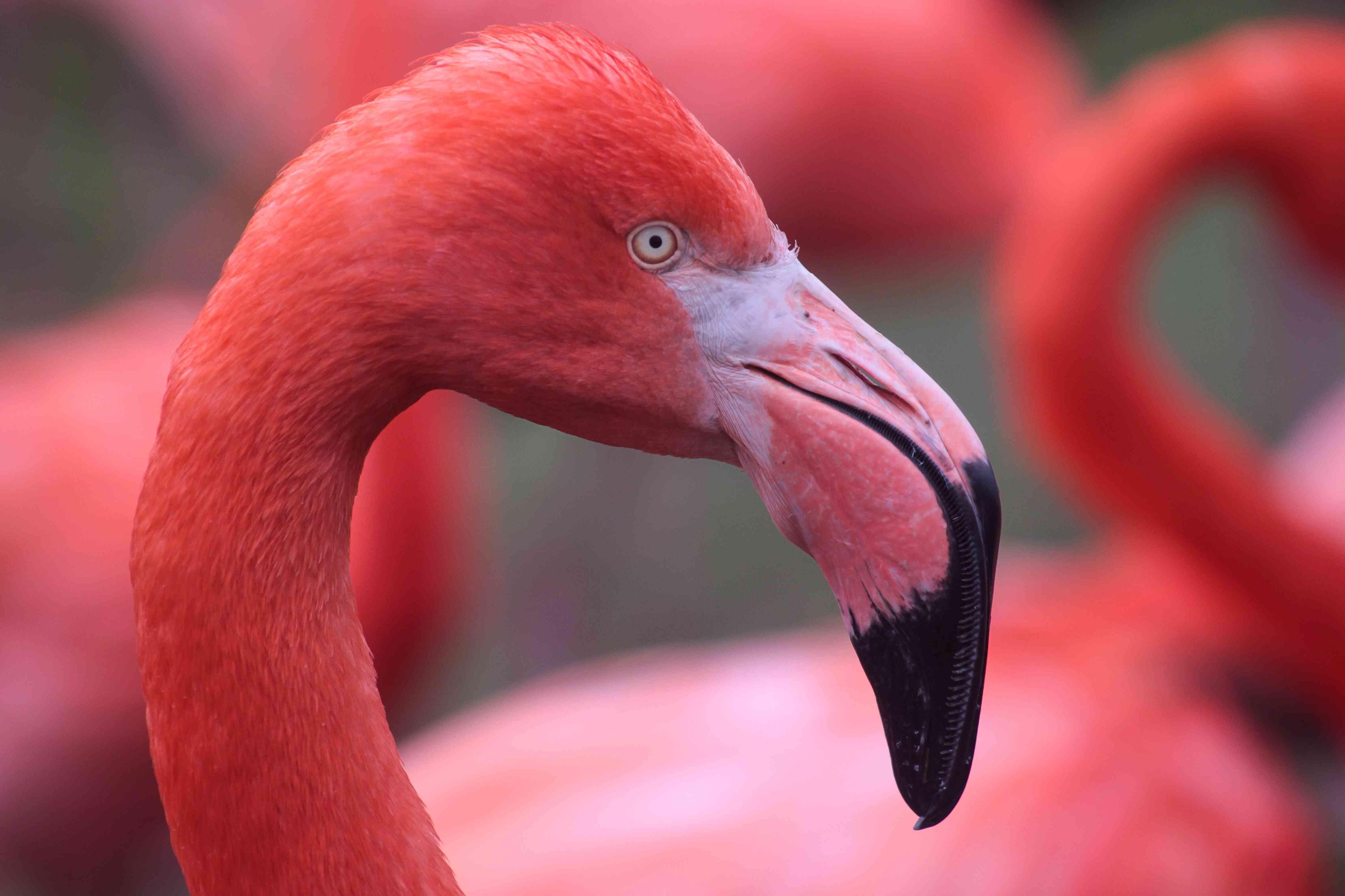 Nahaufnahme des Flamingokopfes