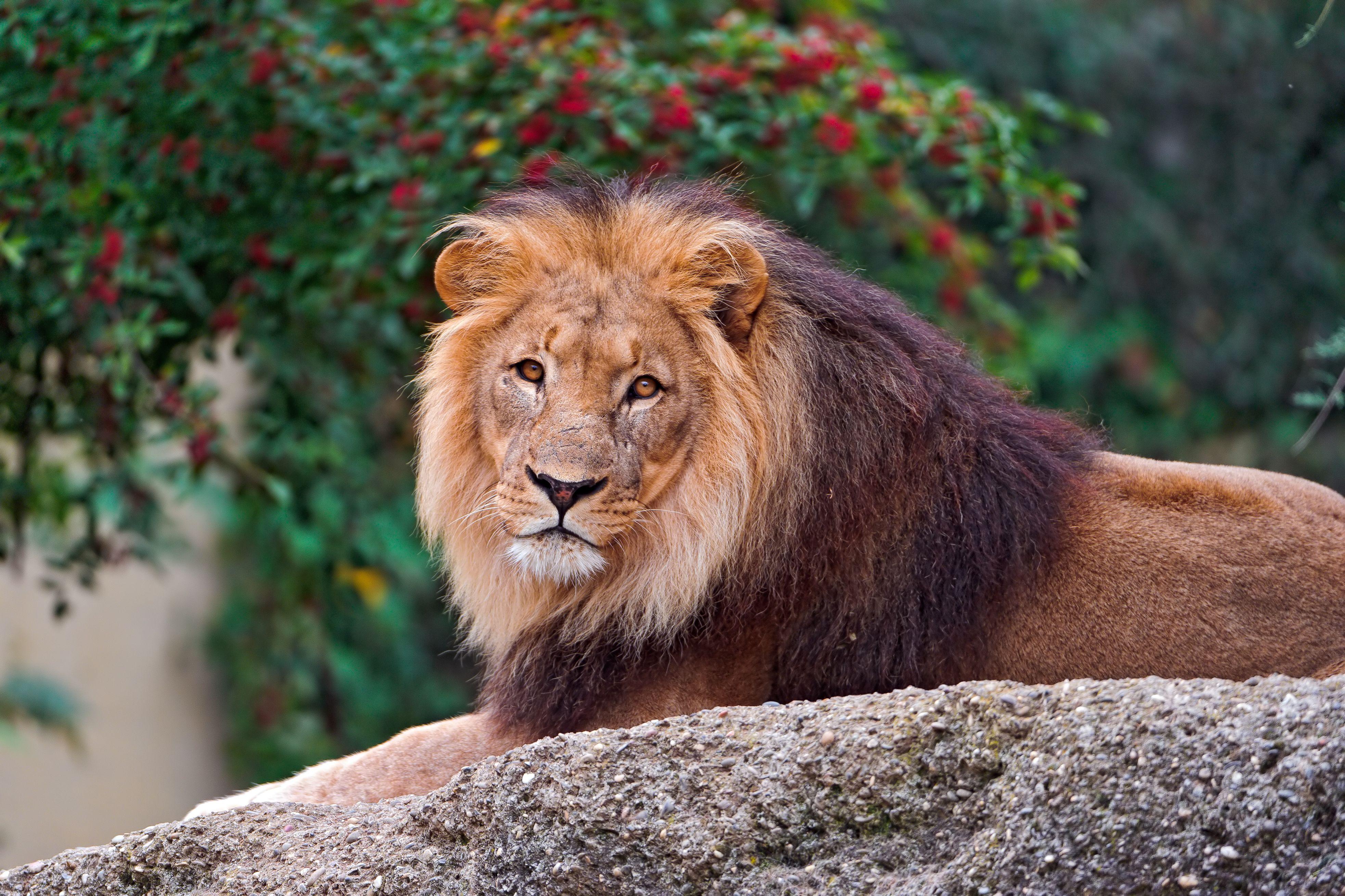 Lion lying on rock.