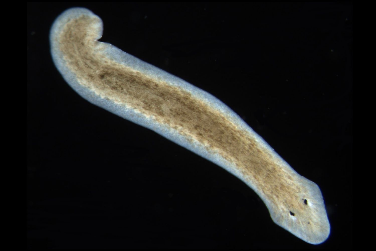 platyhelminthes 3 exemple)