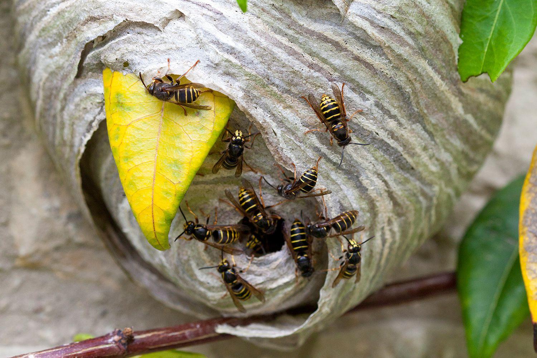 Dónde construyen sus nidos los insectos que pican