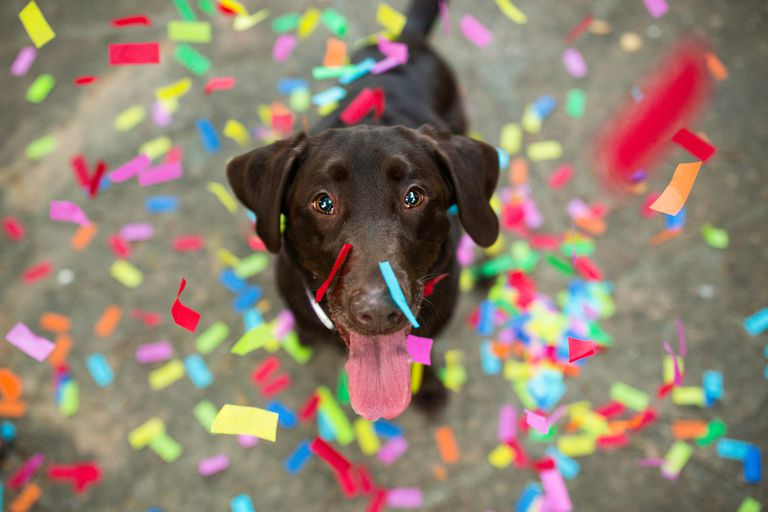 Chocolate lab surrounded by confetti