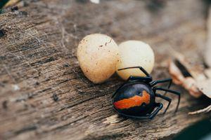 Redback spider with egg sacs