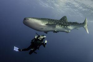 scuba diver swimming under a whale shark