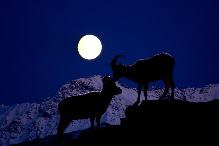 A ram courting a sheep in the moonlight