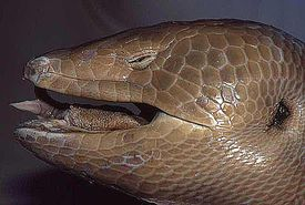 A model of the Jamaican giant galliwasp, featuring it's scaly-skinned head